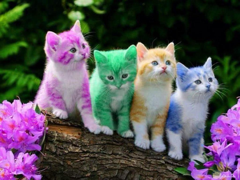 قطط ملونة بألوان غريبة.