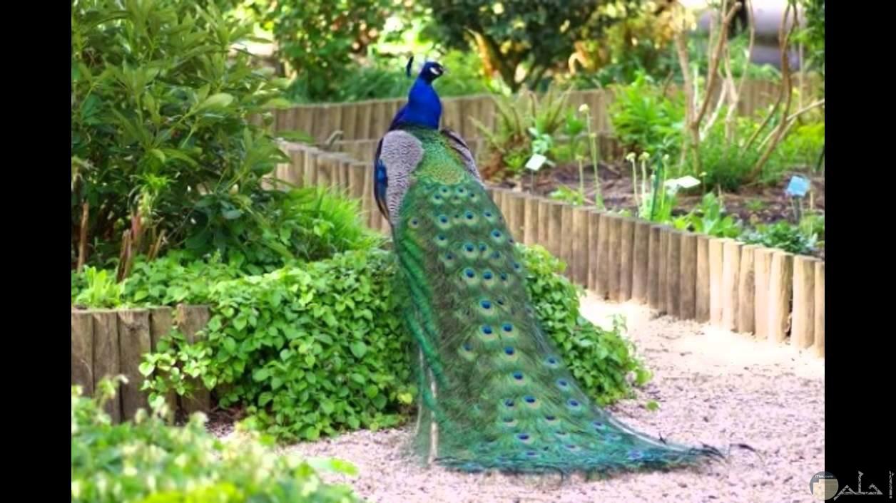 الطاووس ملك الطيور الجميلة.