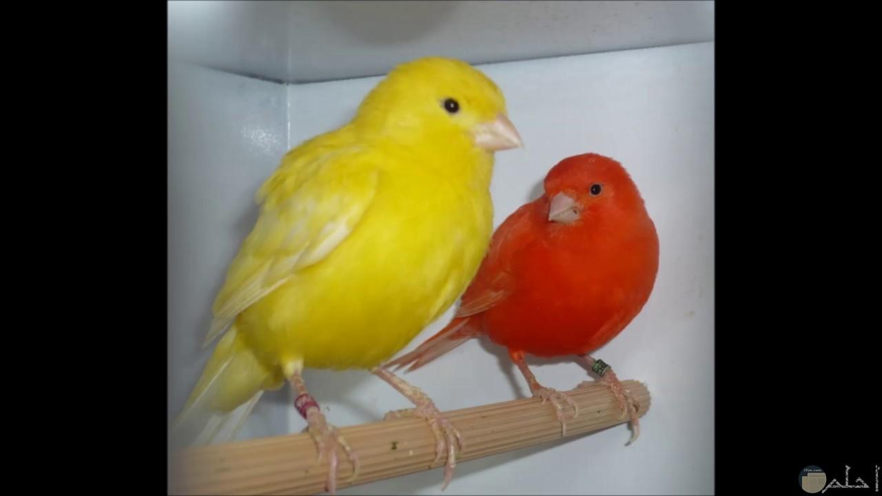 الحب و الكناريا - كناري أصفر و برتقالي.