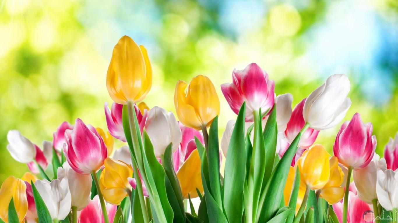 الربيع و تفتح الزهور.