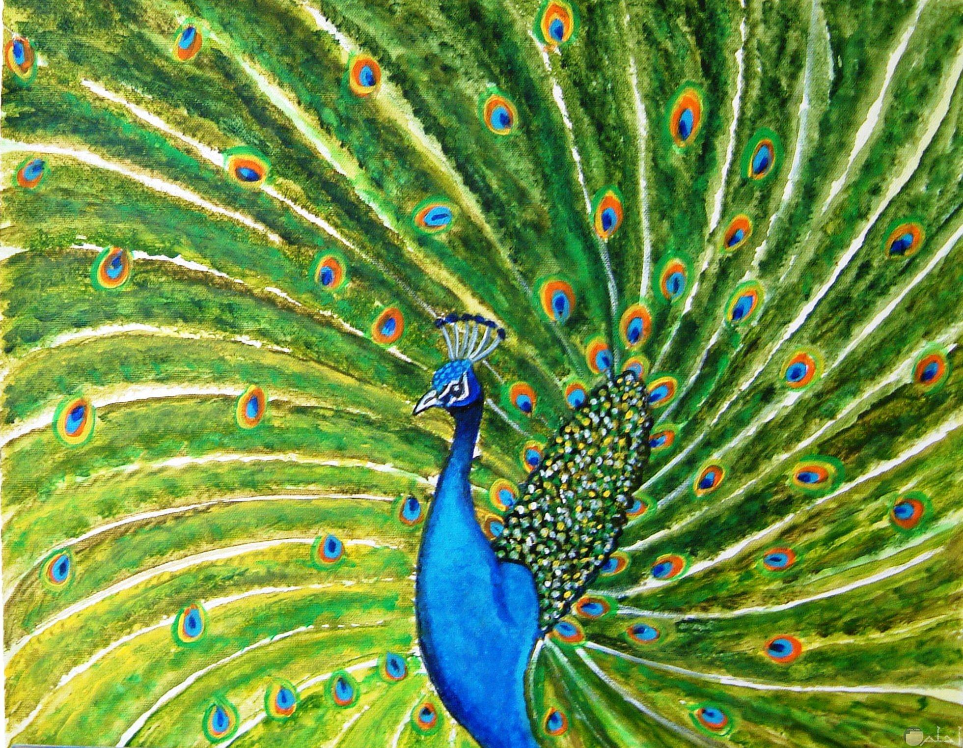 لوحة جميلة الرقى يرسمها الطاووس.
