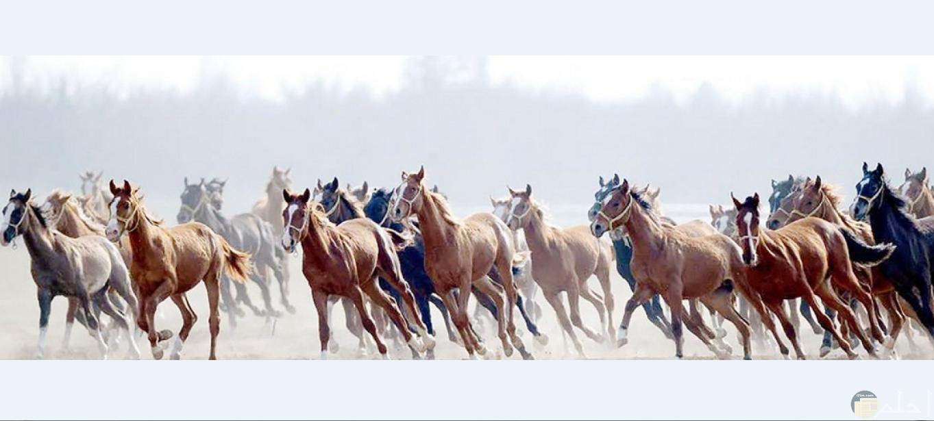 لقطة جميلة لقطيع من الخيول العربية تجري في مكان مفتوح.
