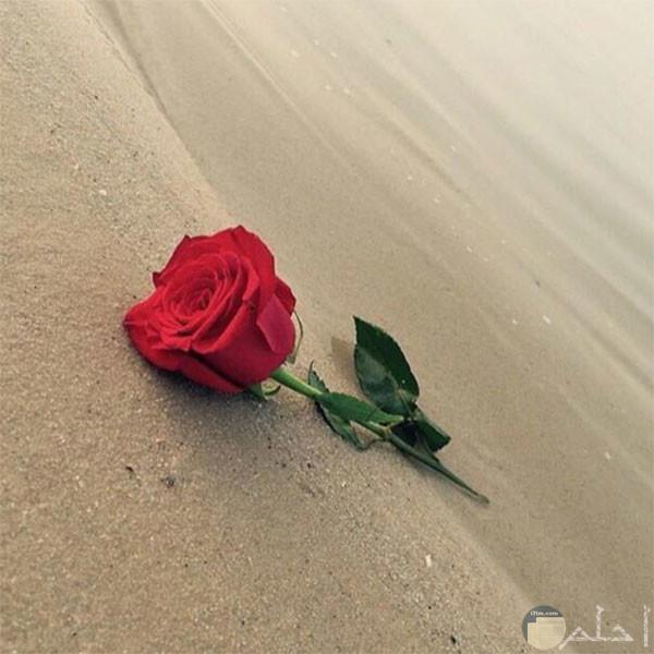 وردة حمراء على الرمال...