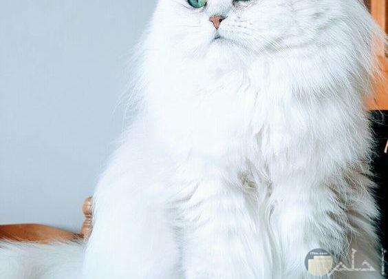 قطة بيضاء قمر
