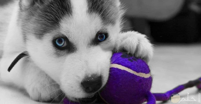 كلب هاسكي جميل