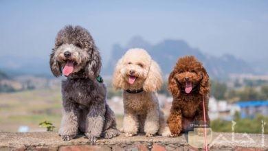 كلاب بودل بألوانها و أشكالها المختلفة