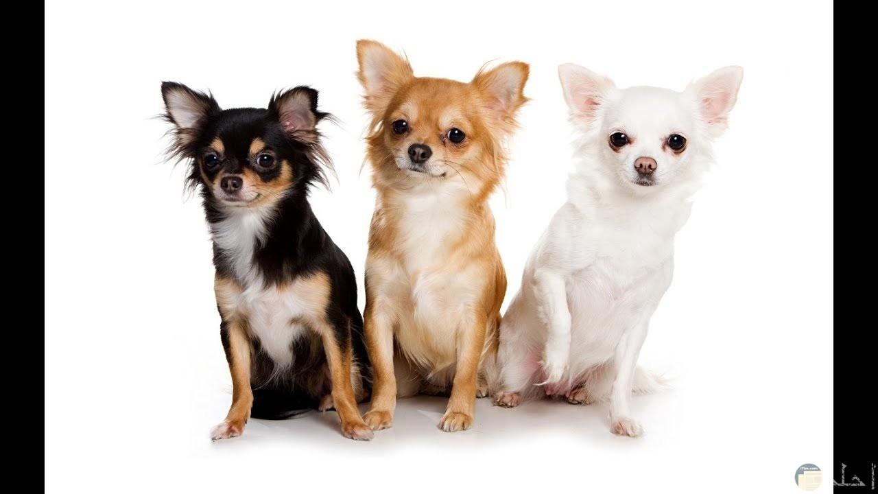 كلاب تشيهواهوا الصغيرة