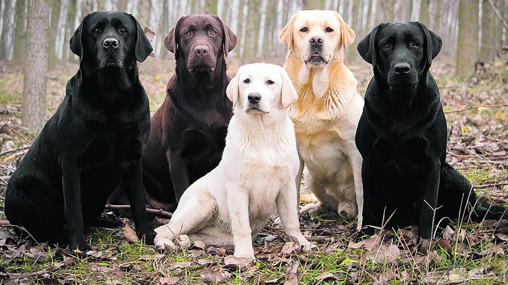 كلاب لابرادور و ألوانها