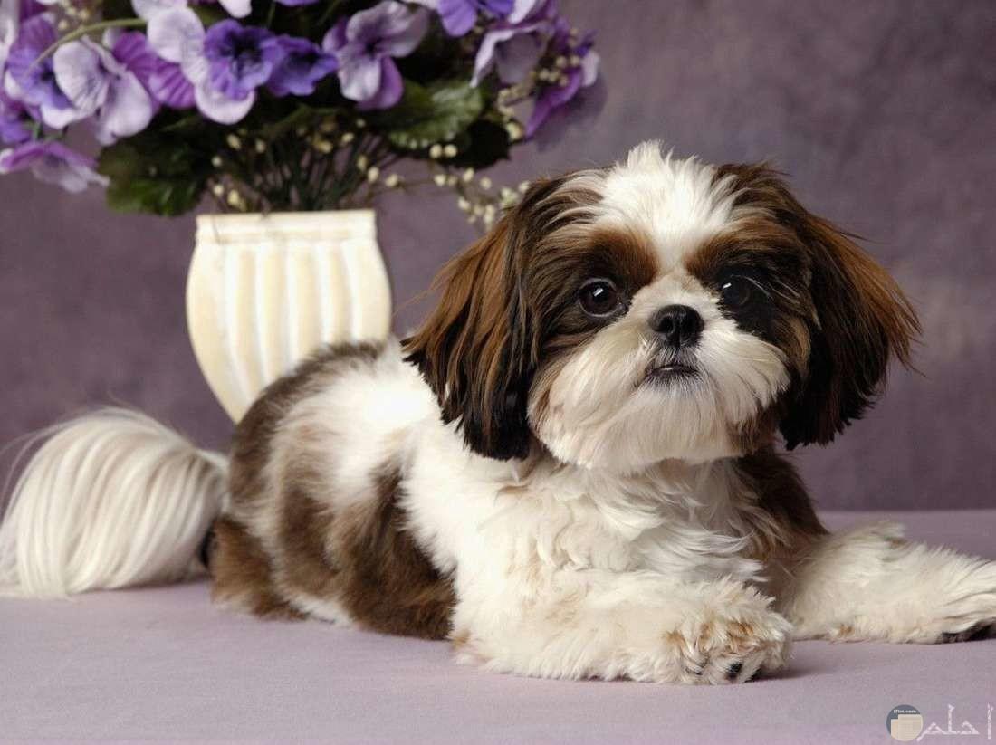 كلب تشيه تزو الصغير