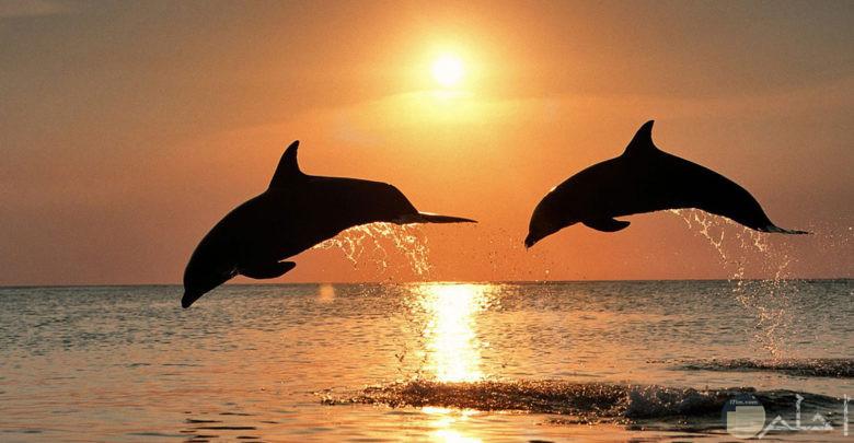 دلافين تسبح