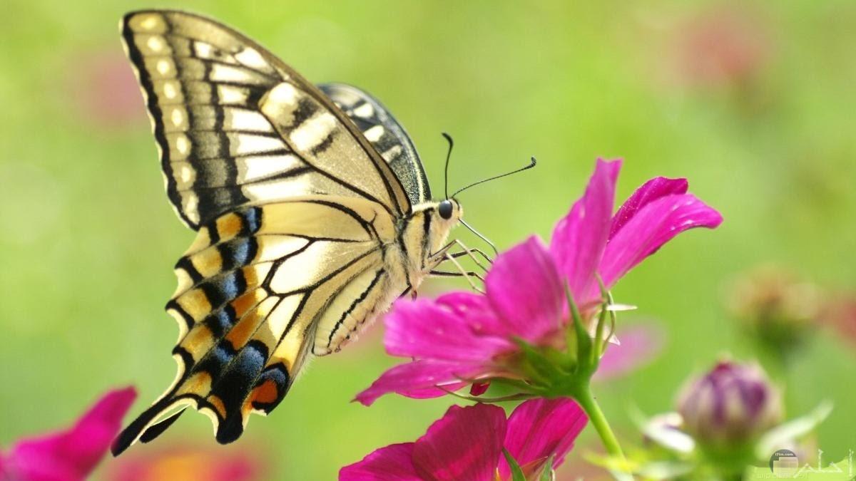الفراشة الوردية.