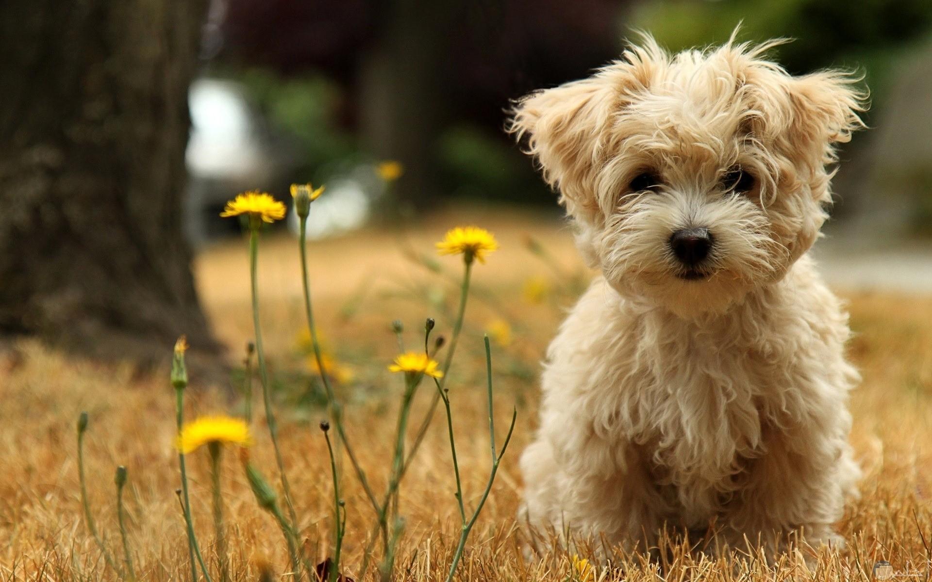 كلب لولو كنيش الشعر.