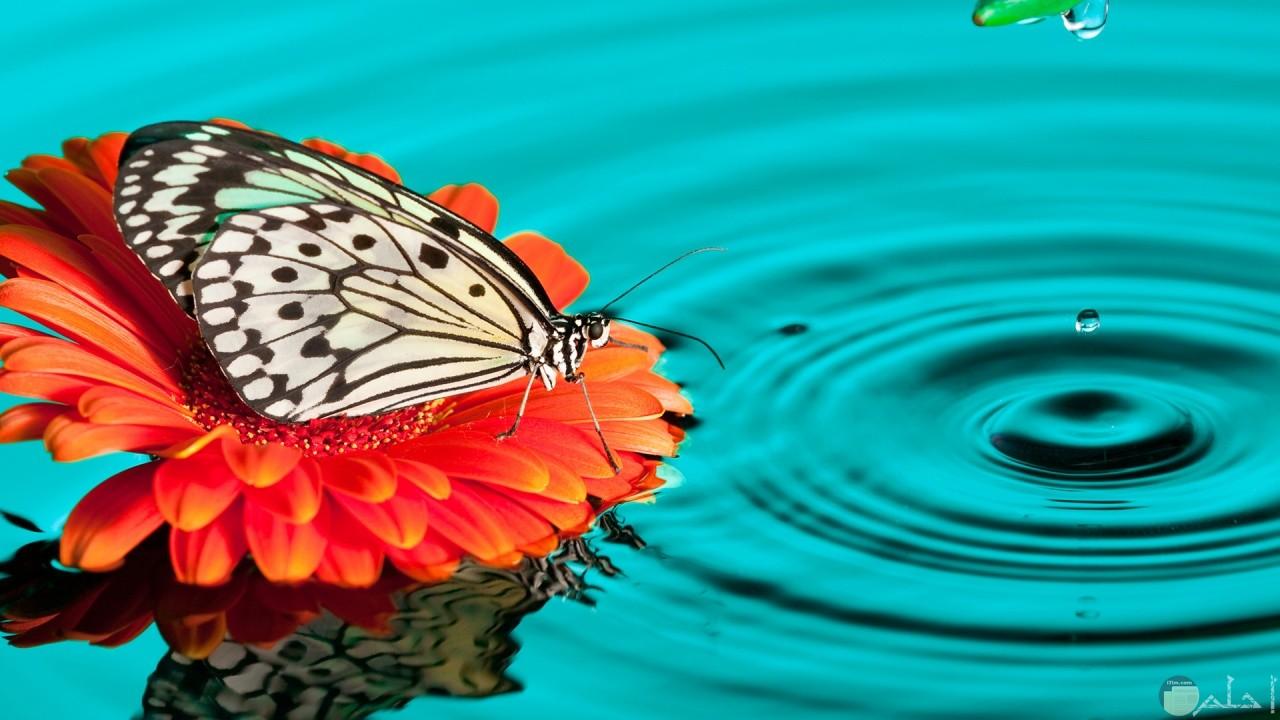 فراشة جميلة تداعب الماء.