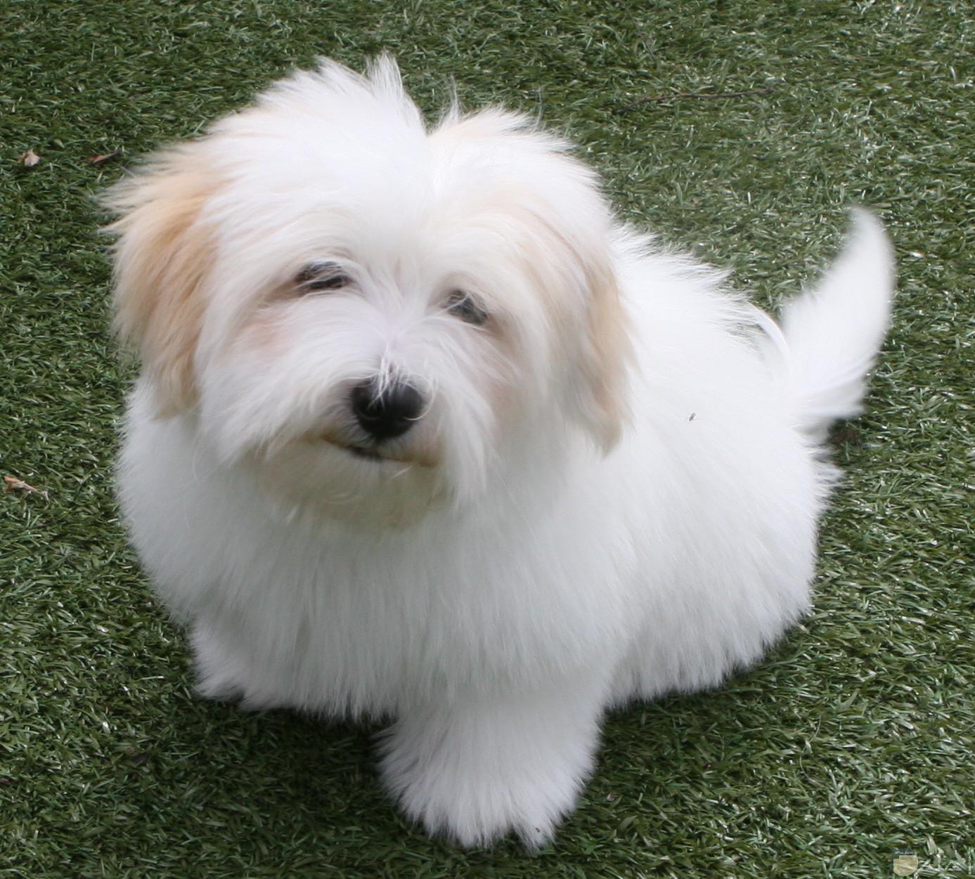 كلب صغير جميل بكثافة شعره.