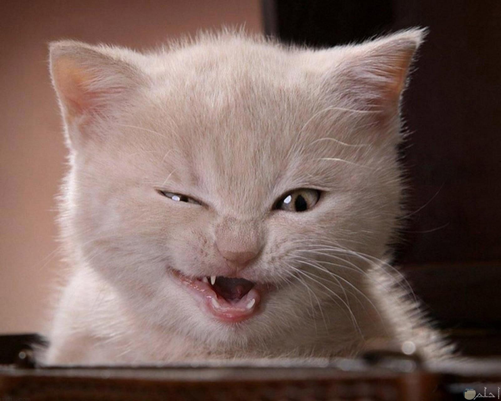القط الماكر الشرير.