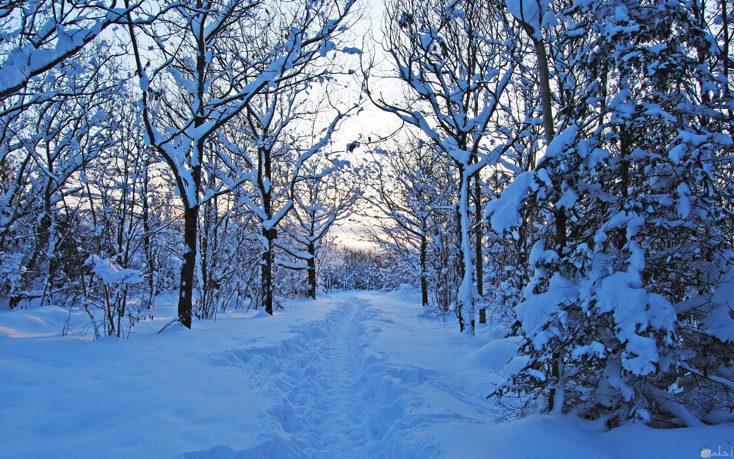 الثلج و سقوطه فوق الأشجار.