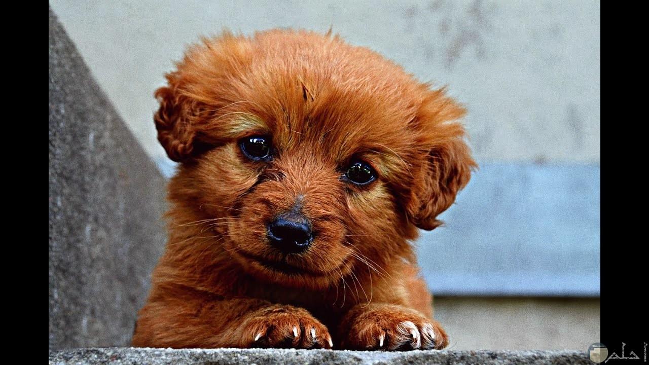 كلب صغير يدمع.