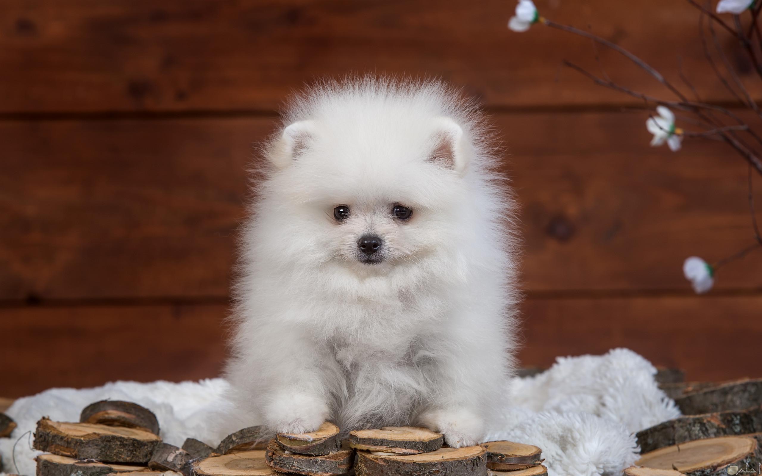 كلب لولو يصنع لعب بالخشب.