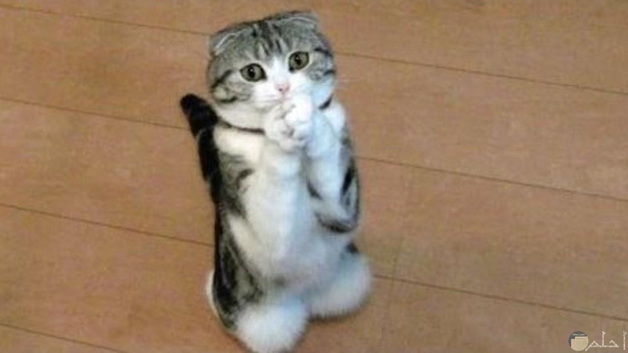 القط لما يطلب شئ.