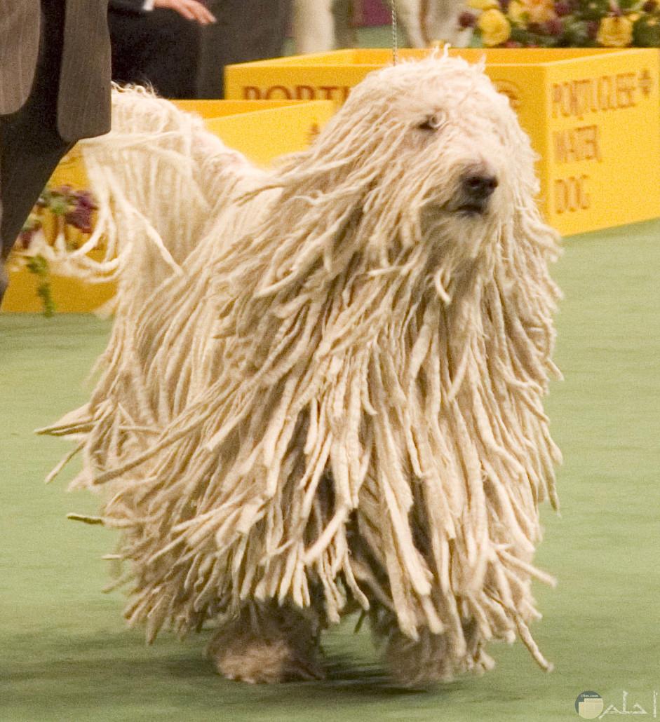 كلب صغير ذو شعر مجدول.