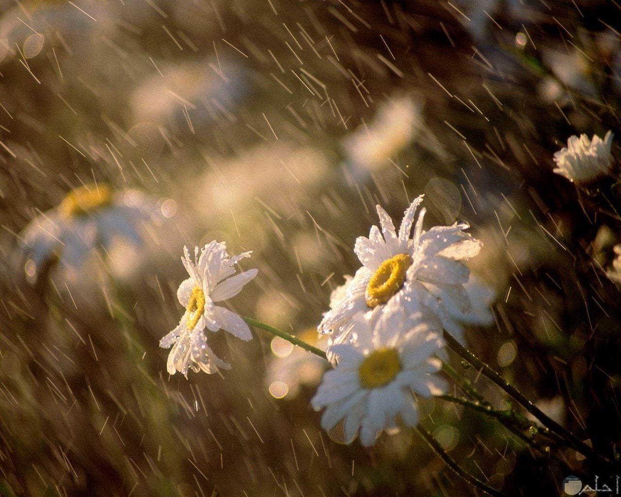 مطر يعزف على أوراق الزهور.
