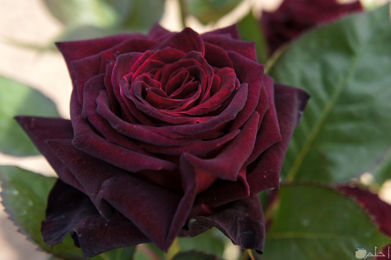 الورد له لغة خاصة.