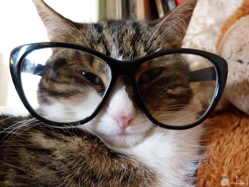 القط المتخفى.