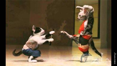 الصراع المضحك بين القطط.