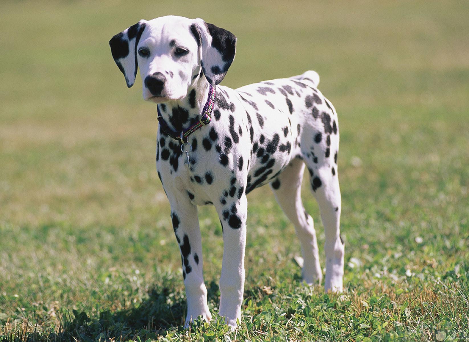 كلب صغير منقط أسود على أبيض.