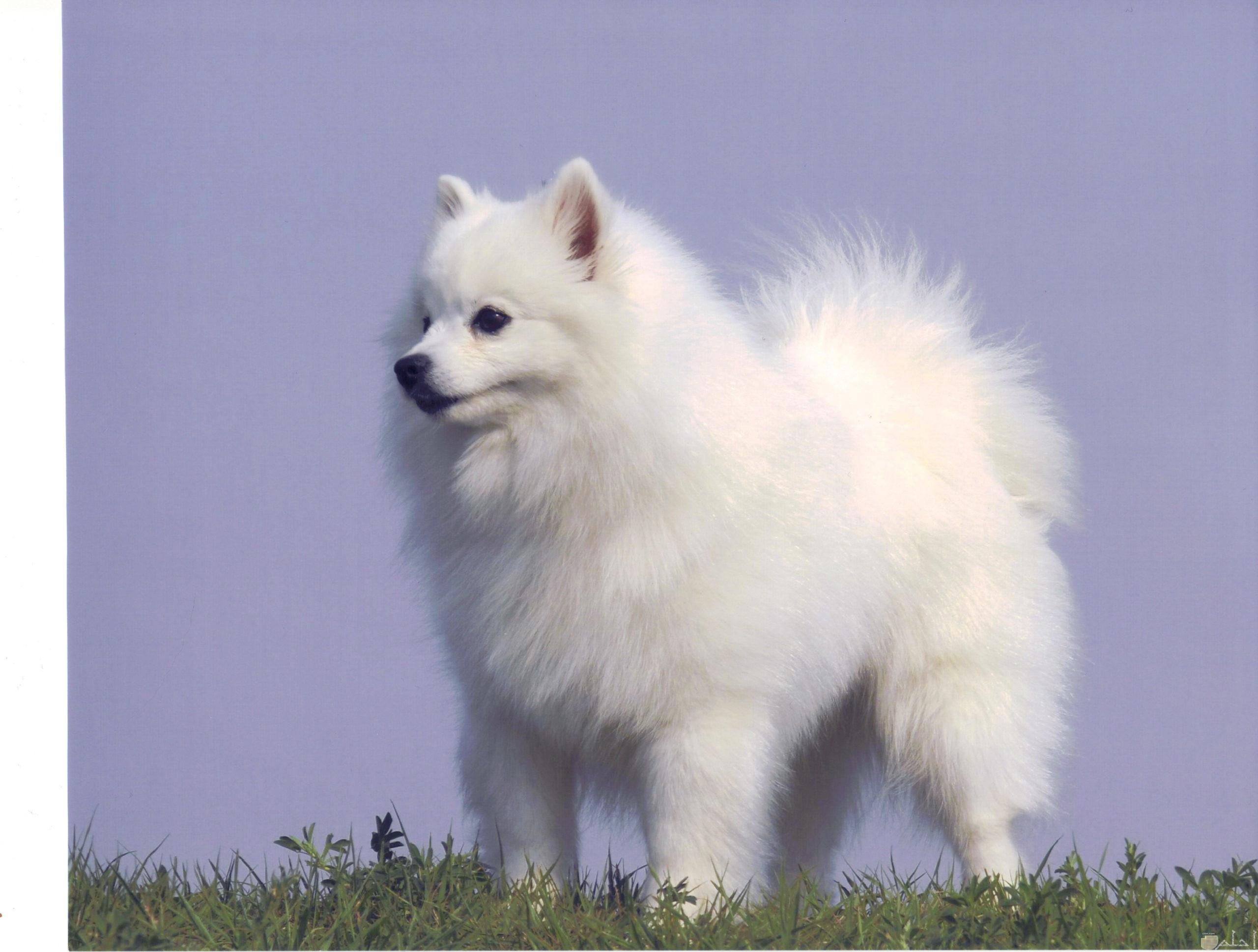 كلب لولو يقف مثل الأسد.