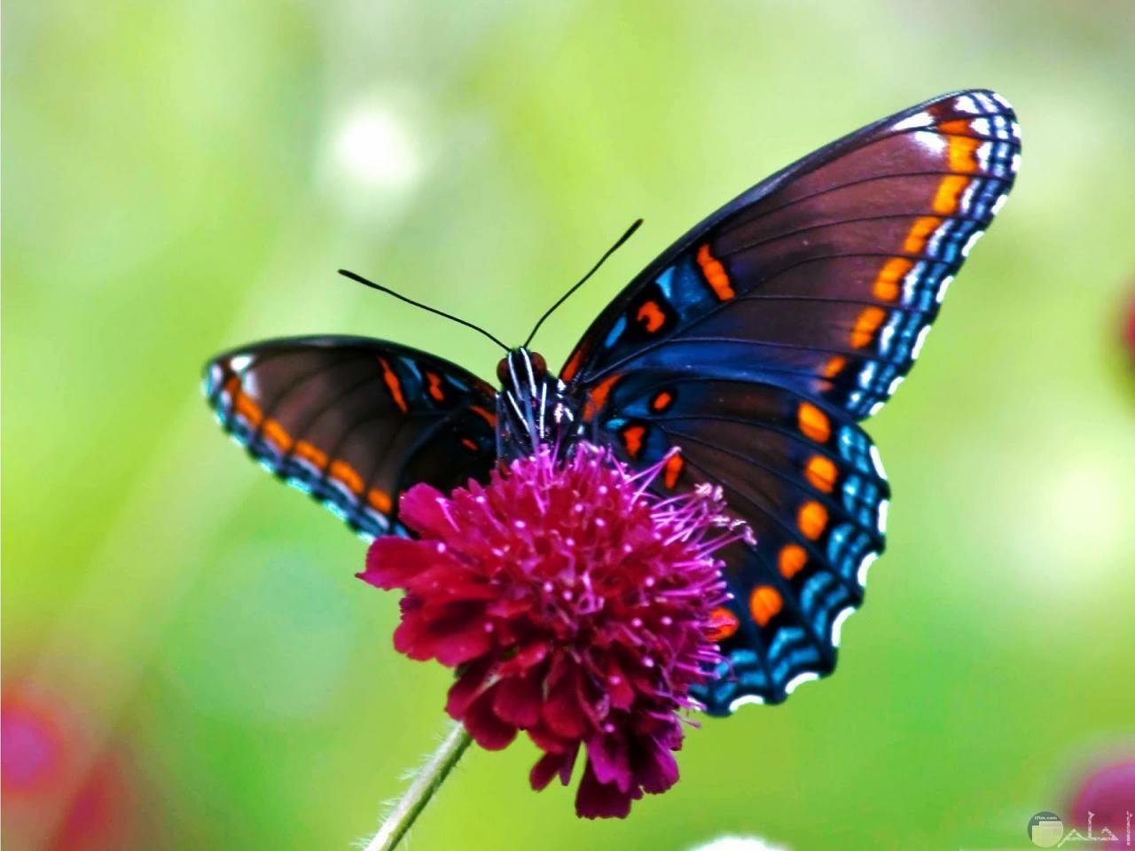 الفراشة الجميلة تداعب الزهر.