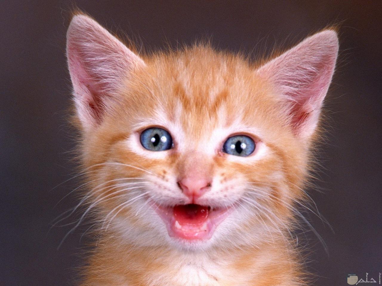 قط يضحك للصورة.