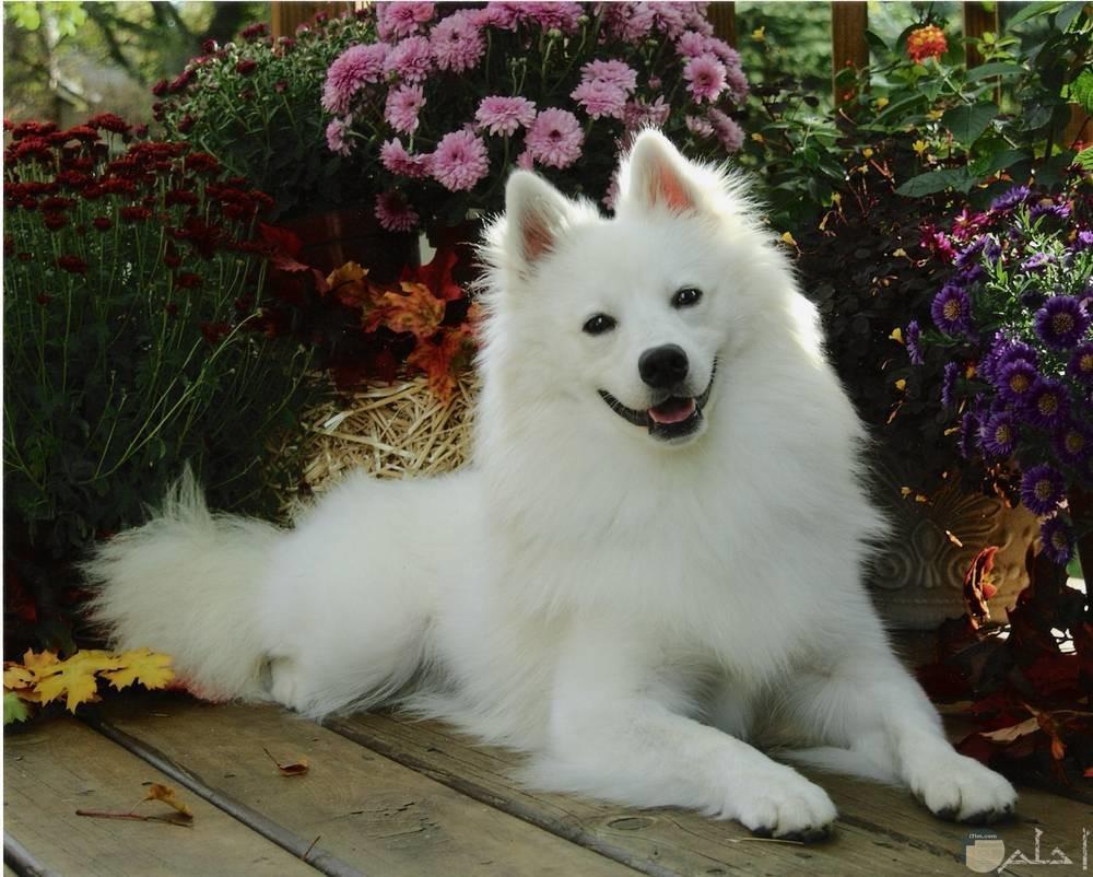 كلب لولو يبتسم للصورة.