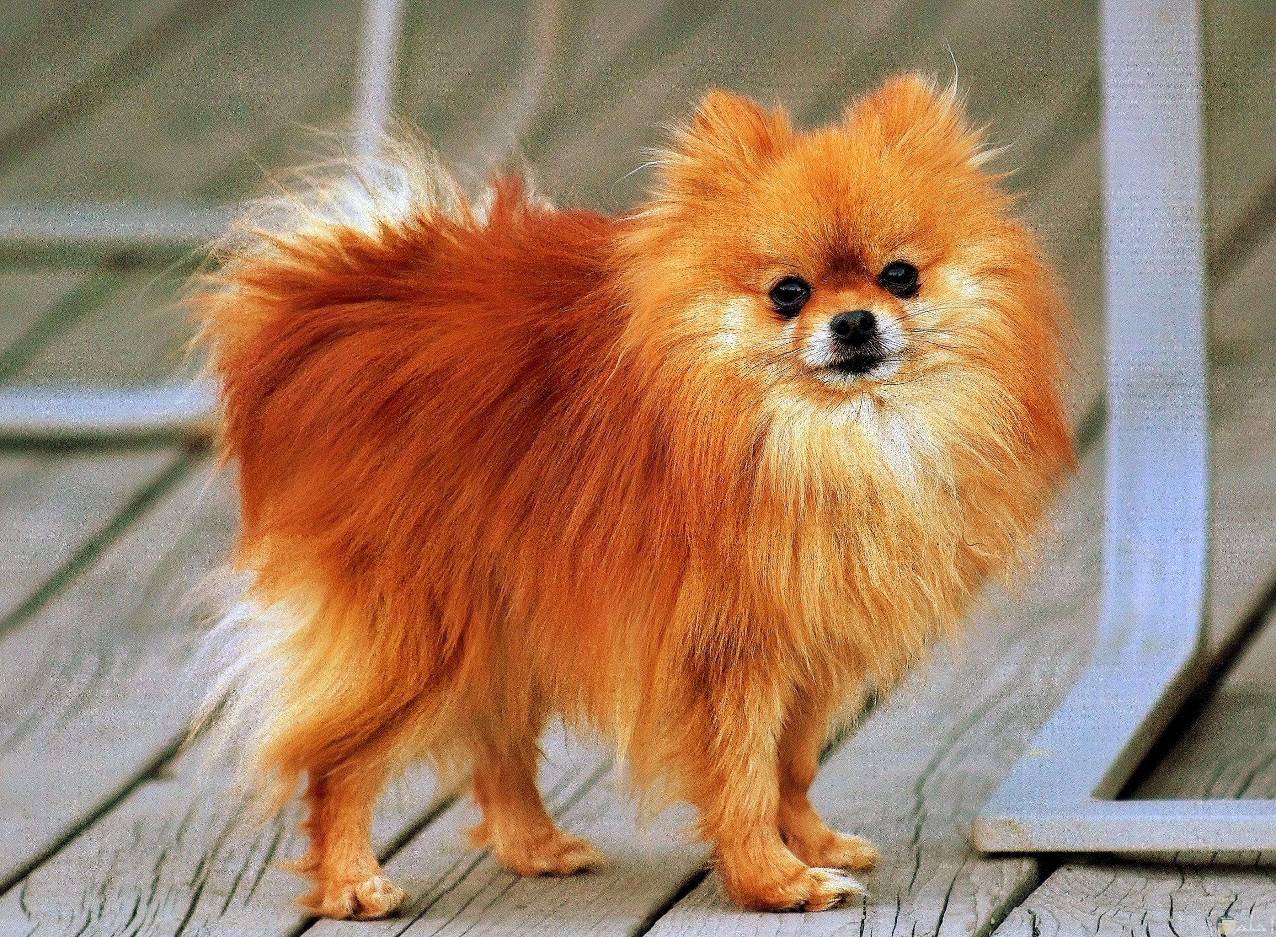 Pomeranian-كلب بوميرينيان صغير