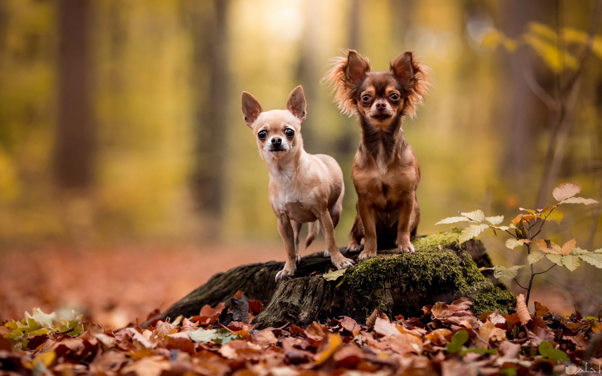 كلاب شيواوا بأشكالها.