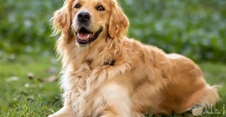اجمل كلاب جولدن