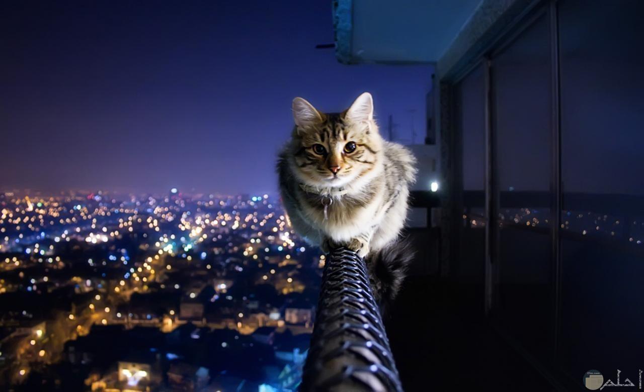 قط ينظر للعالم من أعلى.