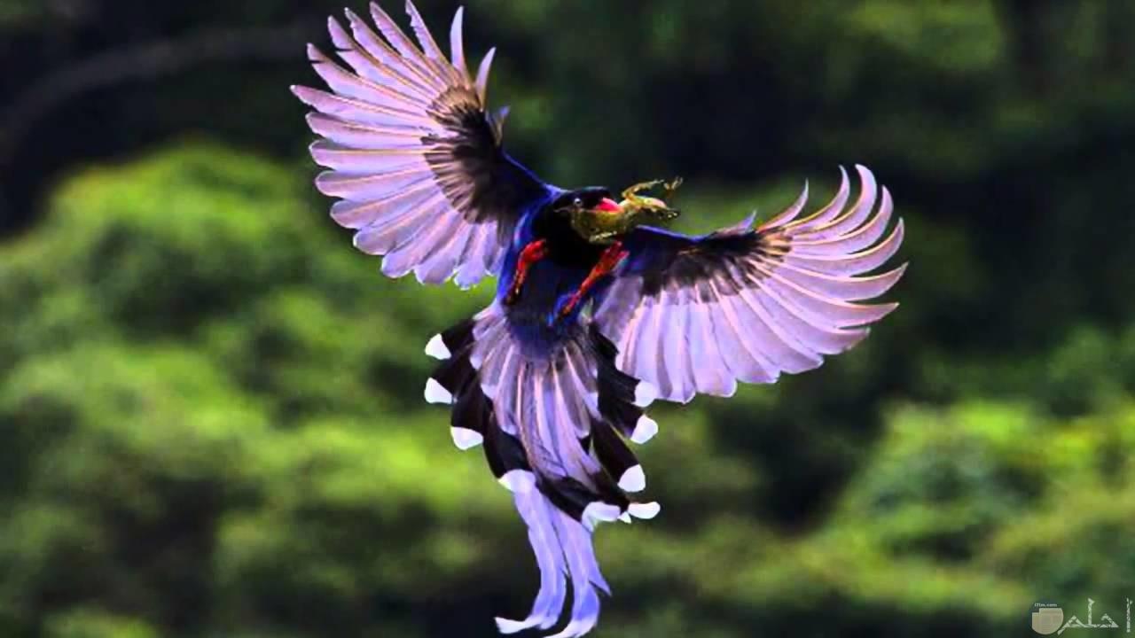 طائر يستعرض جمال ألوانه.