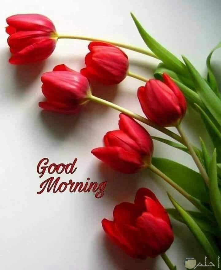 صباح الخير والورد الاحمر