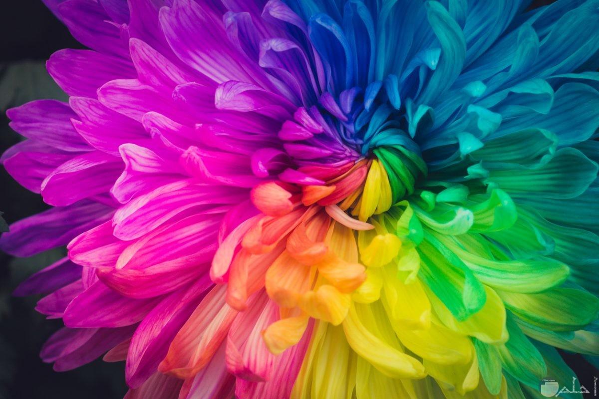 وردة ملونة بألوان قوس قزح.