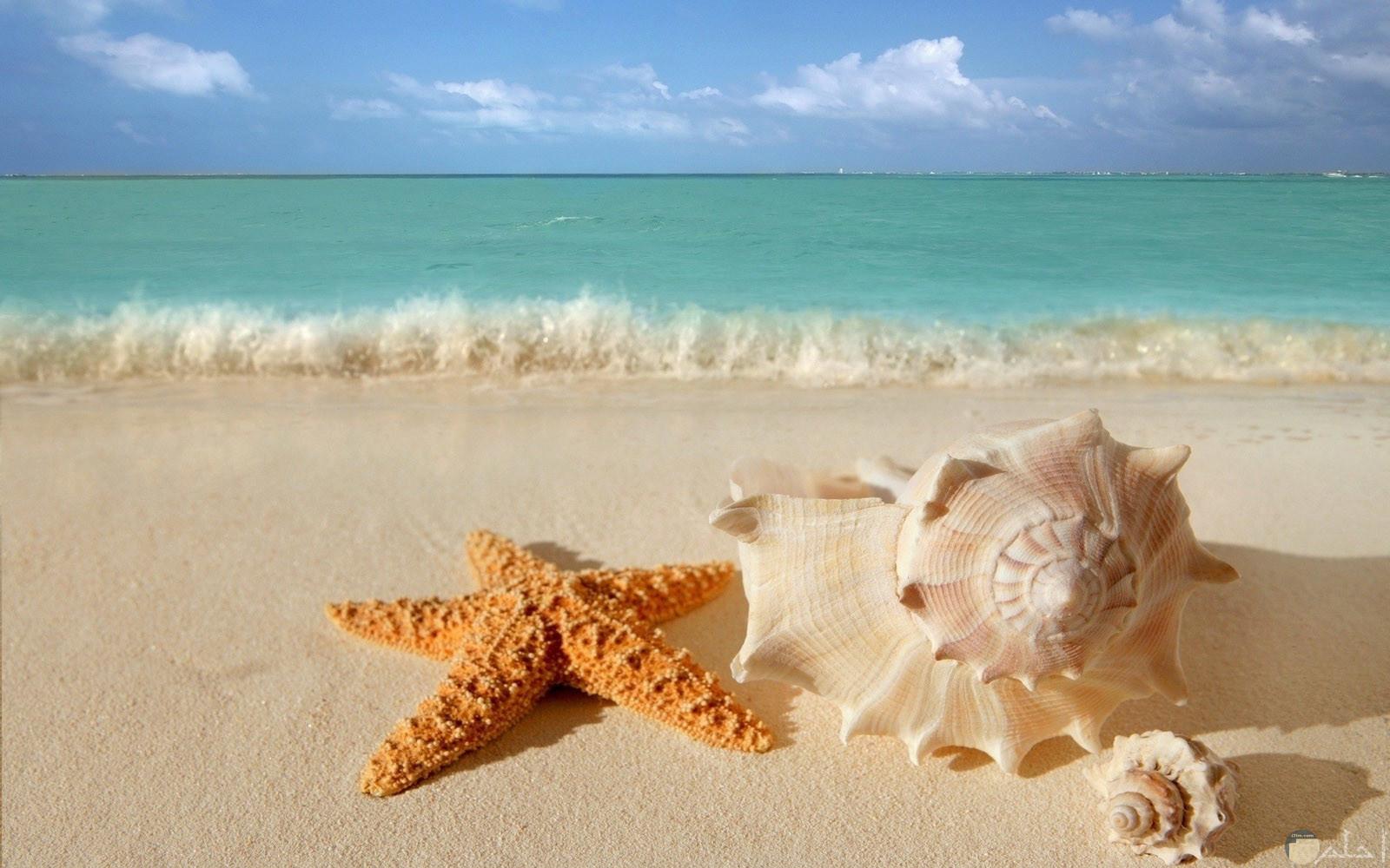 نجم البحر وقوقع على شاطئ بحر