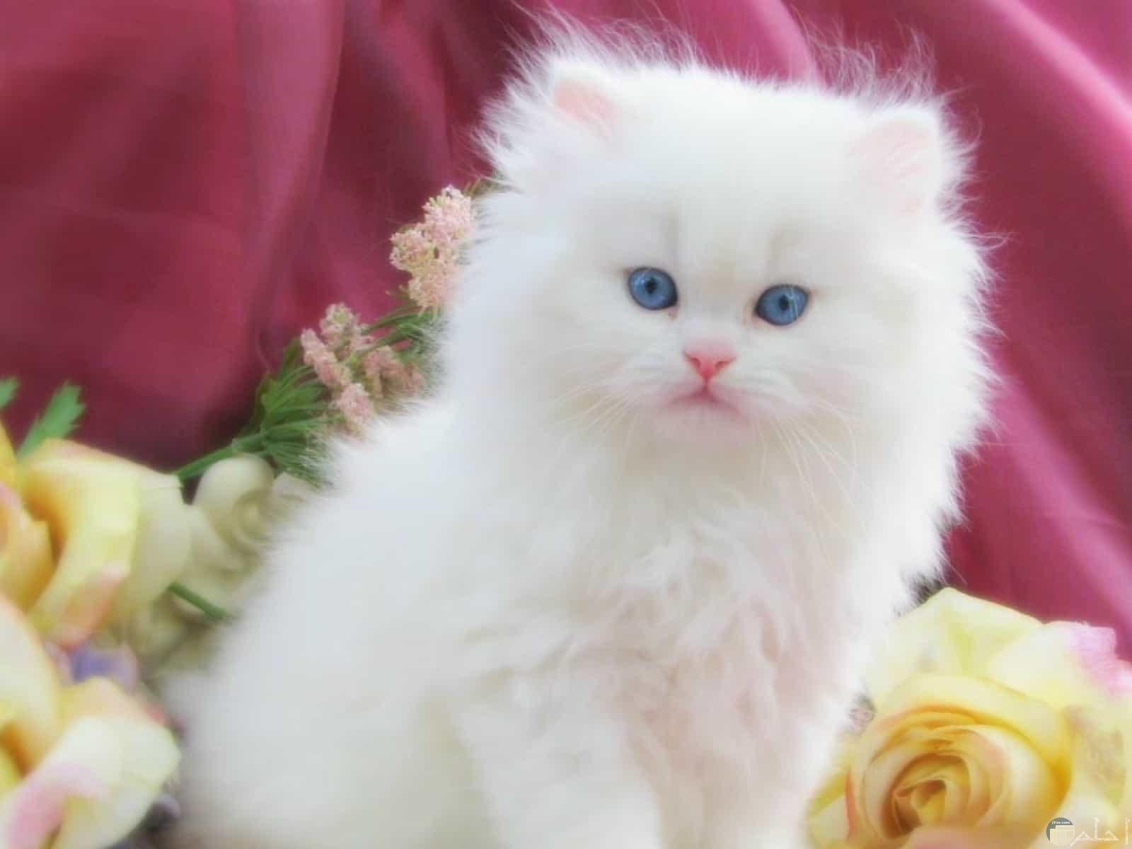 قطة بيضاء عيونها لبني