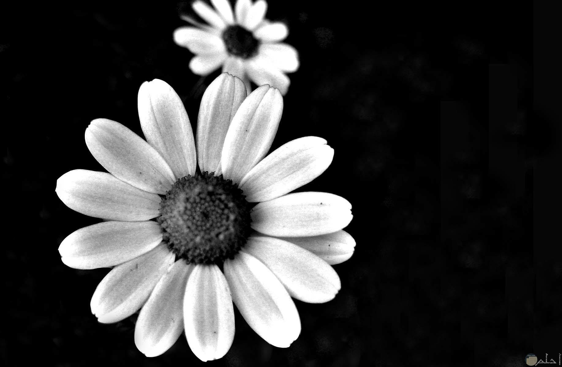صورة ابيض و اسود لزهرة عباد الشمس.