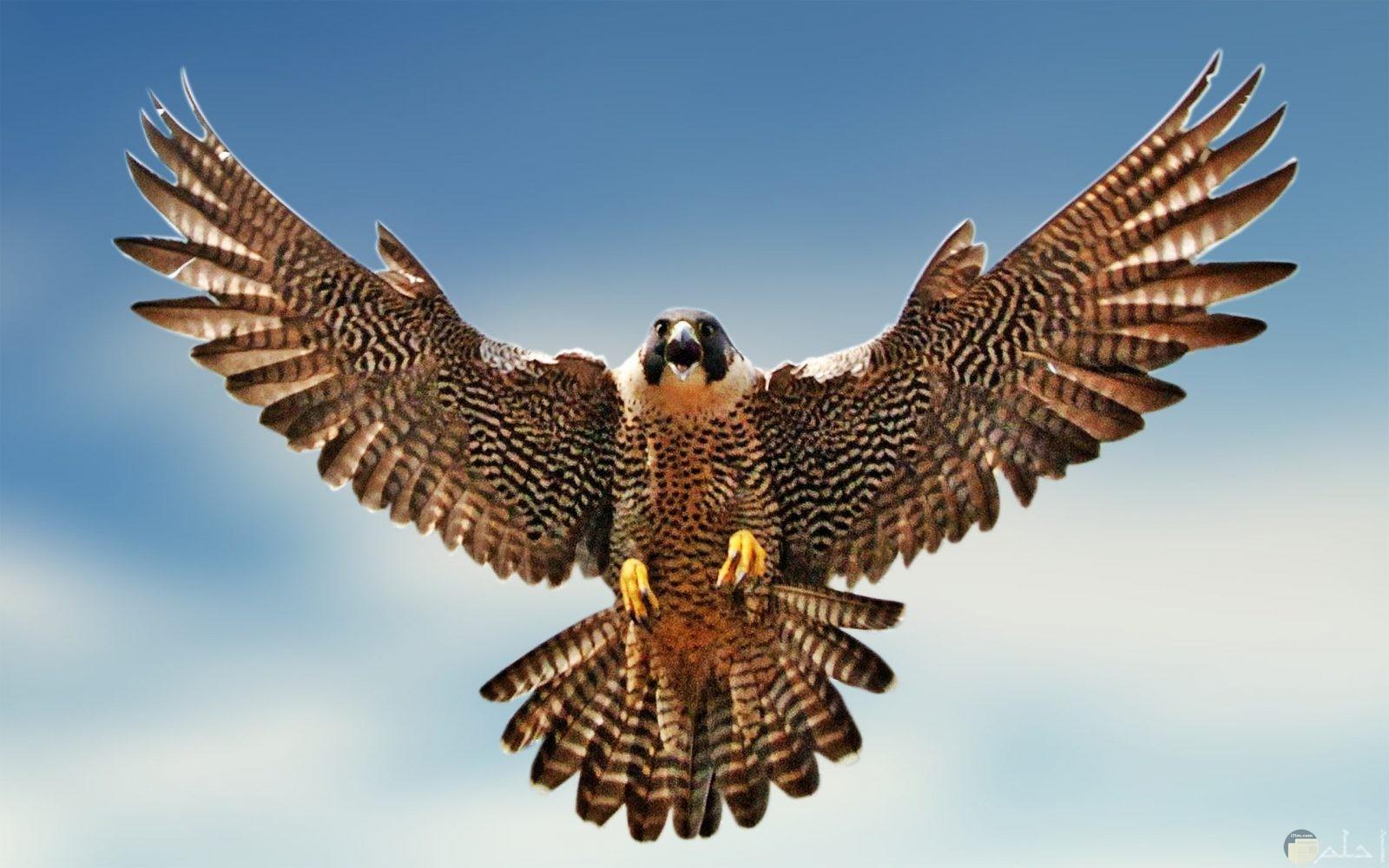 صقر شاهين يطير في الهواء و يفتح جناحيه.