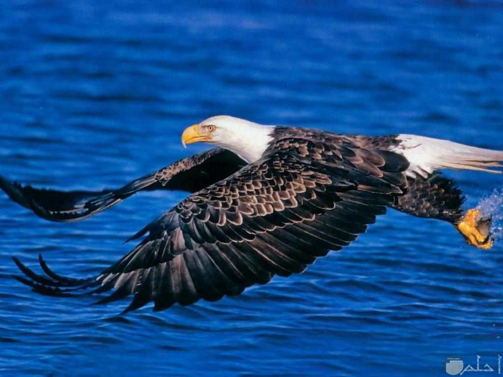 صورة صقر يطير فوق سطح البحر.