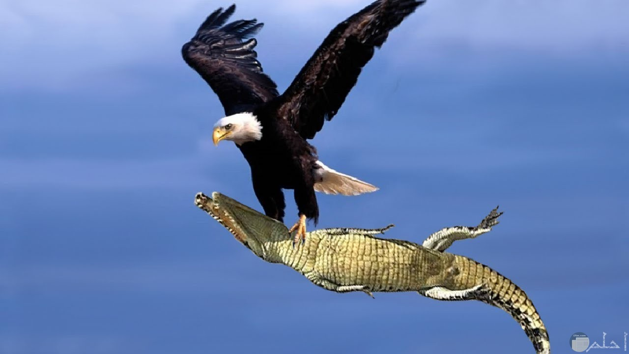 صورة صقر يطير بفريسته.