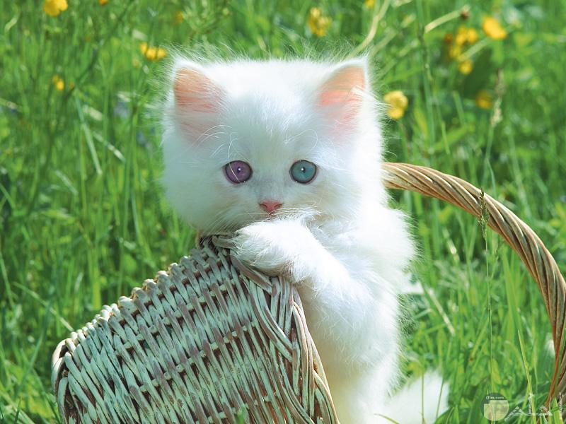 قطة بيضاء في سبت