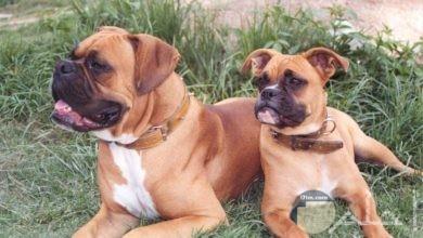 صور كلاب البوكسر ومعلومات عنها