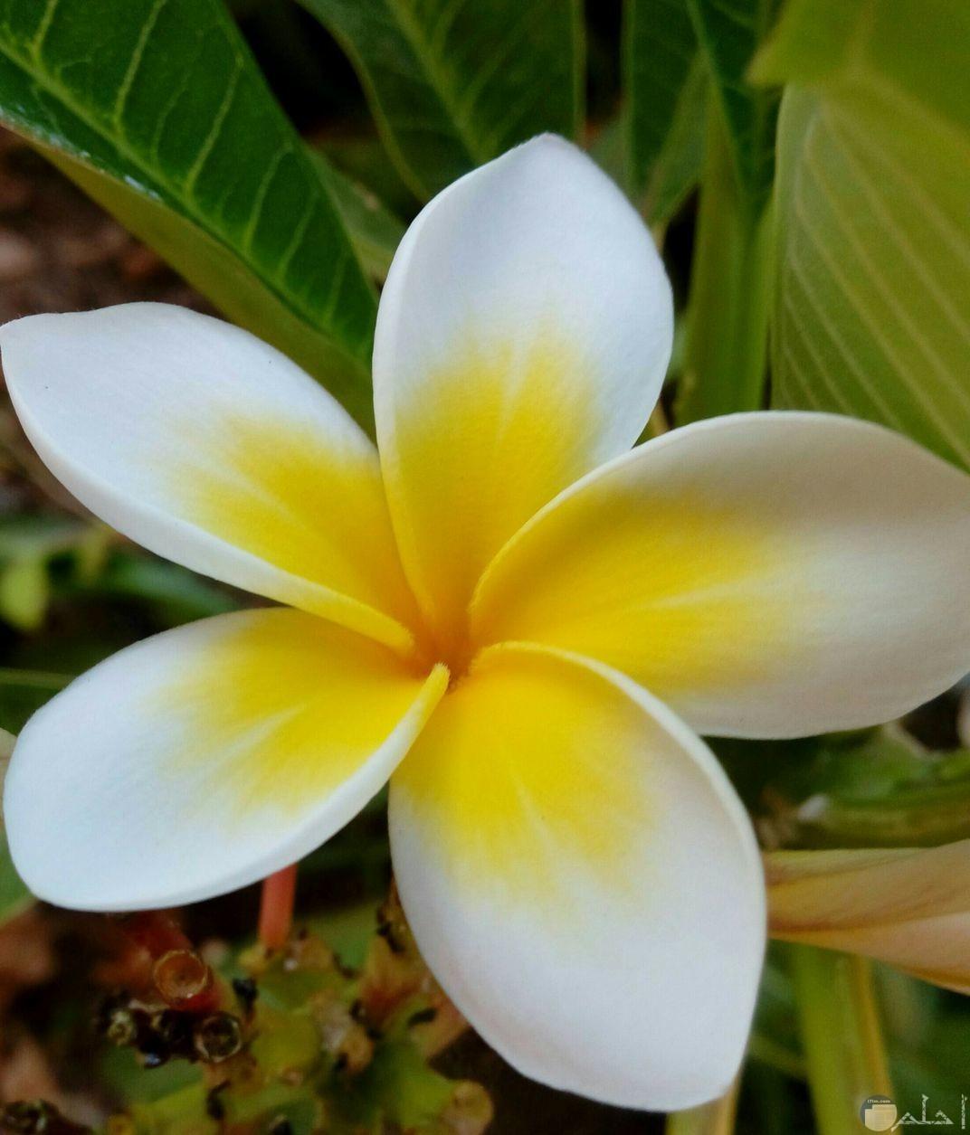 زهرة الياسمين المصرية المميزة بالونين الأبيض و الأصفر الخلاب.