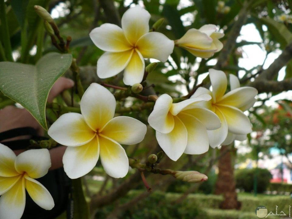 شجرة ياسمين مصري مزهرة بورد الياسمين الجميل.